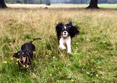 Cavalier dog and mini dashund walking on Clapham common