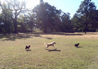 Four dogs walking on Tooting Common