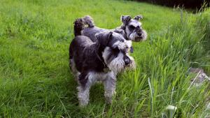 Schnauzers dog boarding Clapham