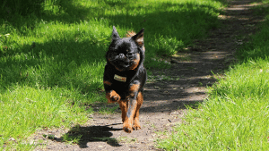 Brussels Griffon Dog Walking Tooting Common