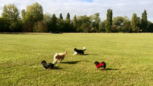 Dogs Playing on Tooting Common